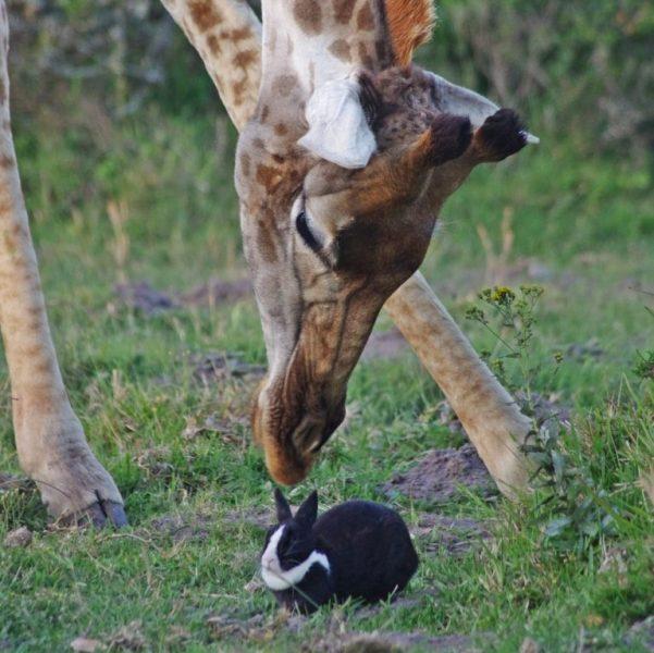 Giraffa è coniglio amicizia