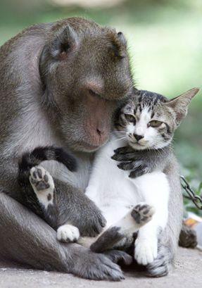 Amicizie tra gatto è scimmia